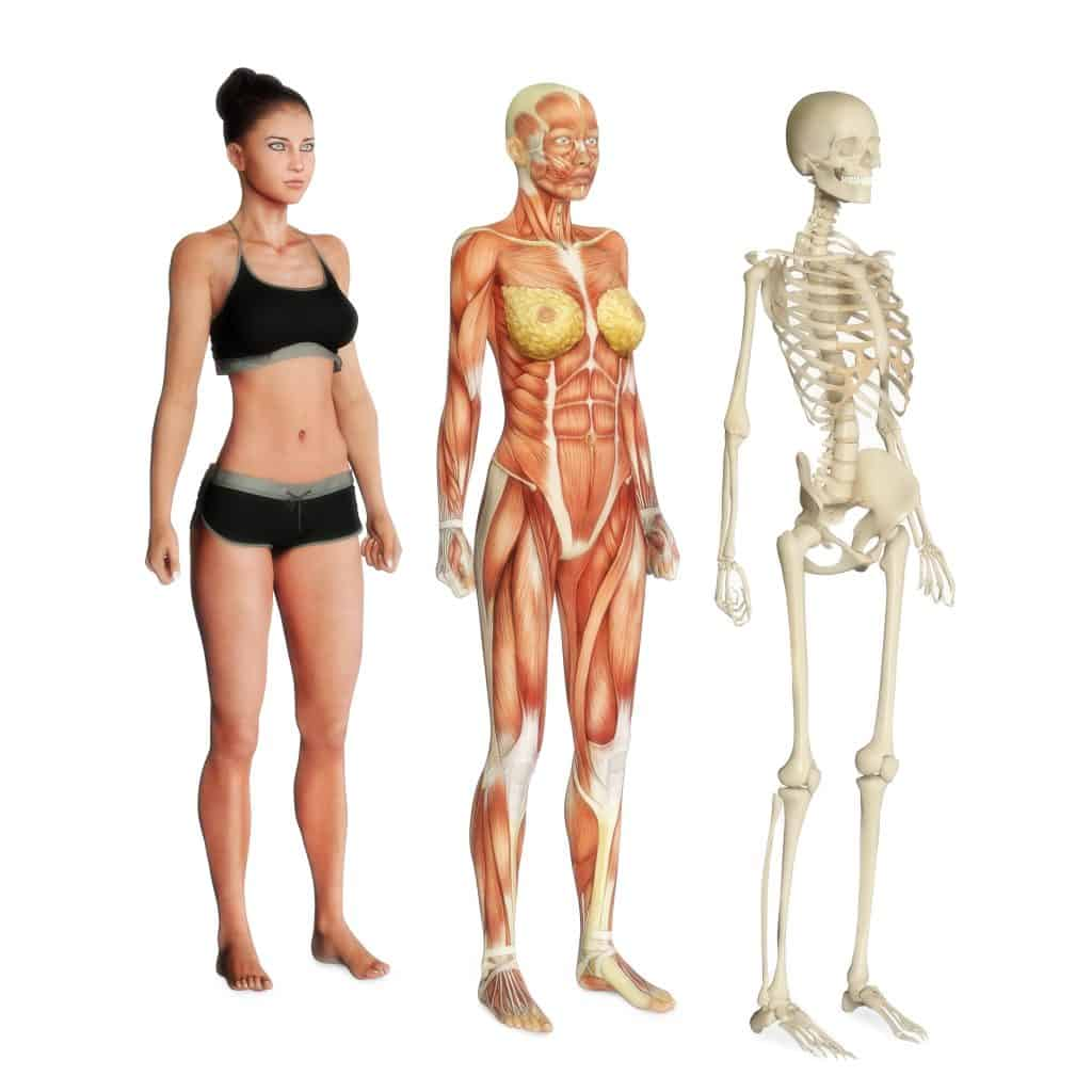Female illustration of skin, muscle and skeletal systems